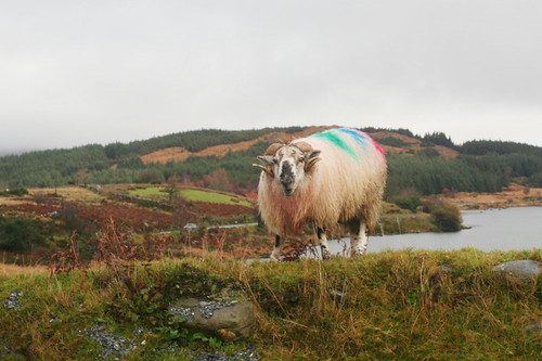 a punk rock sheep