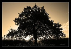 Sepia Tree 1 (middleearthimages) Tags: uk cloud tree leaves sepia hedge