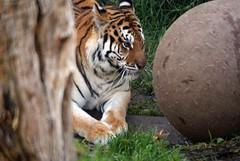 Tiger Oakland Zoo (dbillian) Tags: cats animal animals cat zoo big feline tiger tigers felines flickrbigcats