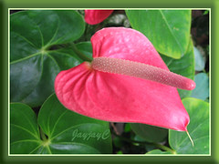 An unknown variety of Anthurium andraeanum in our garden