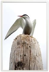 Kra (Sterna paradisaea) - Arctic Tern - The most Graceful bird. (Sig Holm) Tags: bird birds island iceland islandia fugl sland fugler islande icelandic kra islanda artictern blueribbonwinner sternaparadisaea ijsland fuglar islanti     slenskt