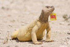 Lizard with a tea bag in his mouth