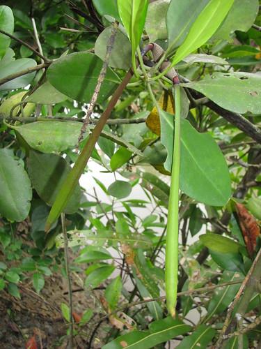 Ceriops zippeliana