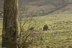 Wild boars (martin werker) Tags: november veluwe wildezwijnen herikhuizen
