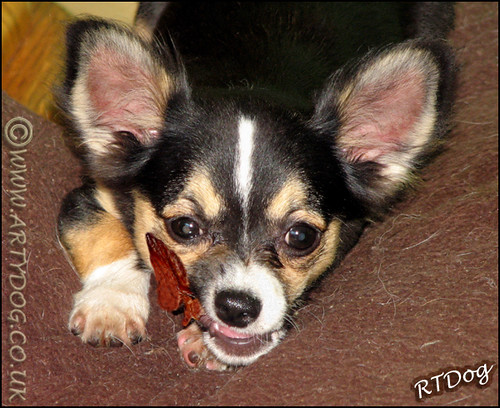 pictures of long haired chihuahua puppies. Tri Colour Long Haired