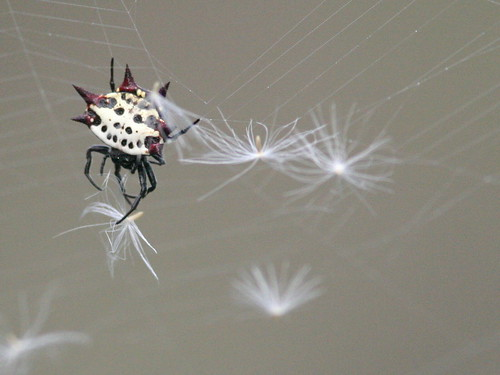 Spiny_Orb_Weaver Gasteracantha_cancriformis