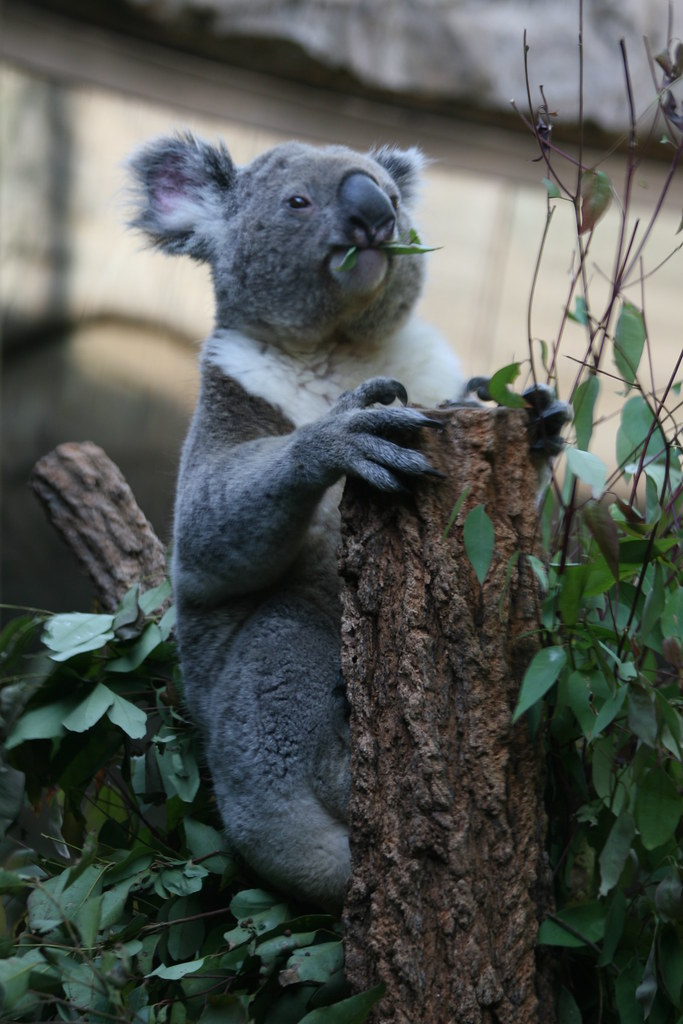 Koala, on the lookout for his next victim