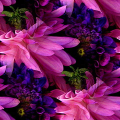 pike pinks and purples (msdonnalee) Tags: seattle photomanipulation washington  bouquet dahlias pikemarket  pinkandpurple floralbouquet pinkandpurpleflowers goldstaraward donnacleveland pinkandpurpledahlias rosaeviolaledalie rosaymoradodalias bouquetofdahlias photosbydonnacleveland