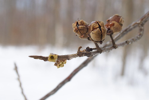 Witch Hazel Seed Pods