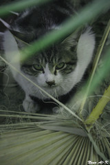 I'm Back   ........... ( Explore) (Nouf Alkhamees) Tags: green cat canon kuwait nono nof alkuwait الكويت nouf حديقة قطة كانون نوف نونو flickrlovers