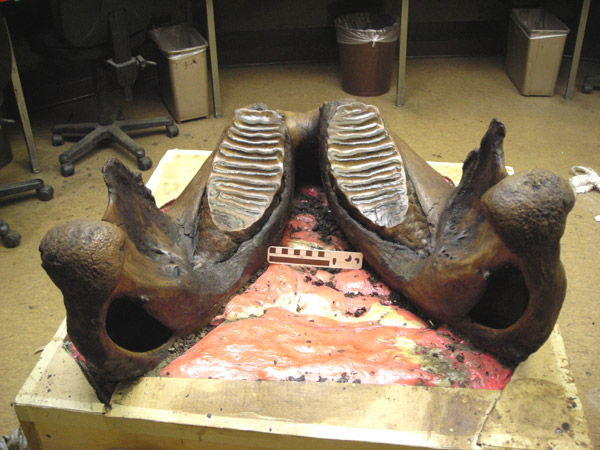 Zed's jaw, from the back