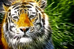 A020AB (alan57) Tags: photoshop zoo montana tiger digitalart captive billings zoomontana animaladdiction specanimal animalkingdomelite theunforgettablepictures naturewatcher alan57 fractalius zoosofnorthamerica adoreadmireappreciate naturescreations struckbyrainbow