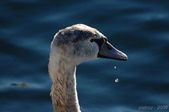 DSC_3965 (pietroz) Tags: lake como fauna lago photo nikon flickr foto photos swam cigno naturesfinest d40 pietroz naturethroughthelens pietrozoccola