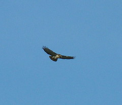 First raptor of 2009 RTHA