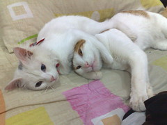 Bianca's first victory (Blake & Bianca) Tags: friends cats pets white love ginger hug kitty kittens victory greeneye bianca blake catfight blueeye surrender kittylove oddeye cc700 cc400 cc300 cc200 cc100 cc500 cc600 mywinners omot flickraward catmoments 100commentgroup alittlebeauty 5prettykittycommentspartiv differenteyecolor camffeb09