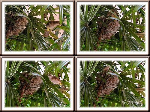 Collage: Nest-building by Pycnonotus goiavier (Yellow-vented Bulbul) on our Lady Palm trees