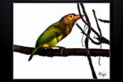 Birds_Animal (14) (My Pixel Magic) Tags: bird birds canon fly canondslr beautifulbird canonlens willife summerbird indianbird flyingbeauty birdofindia canon55250mmlens canondsrl500d