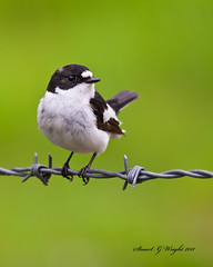Pied Flycatcher (Stuart G Wright Photography) Tags: bird birds g wildlife stuart wright pied flycatcher