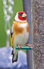 a goldfinch on the nyger seed feeder (GVG Imaging) Tags: goldfinch feeder worcestershire arley bewdley nygerseed nikond80 sigma170500mm mygearandme mygearandmepremium mygearandmebronze