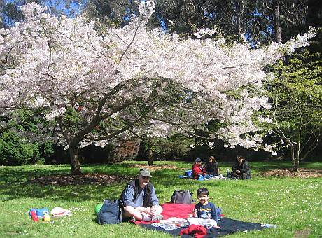 Hanami cherry blossom picnic in Golden Gate Park