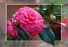 ..Camelia.. (sirVictor59) Tags: africa pink flowers flower macro nature topf25 fleur beautiful jaune photography topf50 nikon bravo saveme nikond70 australia explore passion camelia winners finest natures damncool smörgåsbord masterclass naturesfinest blueribbonwinner encarnado supershot amazingtalent amazingshot flickrsbest laflormasbella 35faves fantasticflower masterphotos goldenmix abigfave saveearth platinumphoto anawesomeshot aplusphoto flickrbest ultimateshot naturefinest infinestyle almostanything macrophotosnolimits citrit ysplix incrediblenature excellentphotographerawards ilovemypic superlativas blueribbonwinnerb theunforgettablepictures masterphoto overtheexcellence macromarvels goldstaraward naturemasterclass dragongoldaward great123 macroflowerlovers excellentsflowers 4mazingorgeoushotsoflowers natureselegantshots flickrestrella thepoweroftheflower mimamorflowers qualitypixels loveartflowers llovemypics sirvictor59