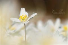 Standing Tall (Emma Roos) Tags: flowers macro spring nikon bokeh 2008 dreamscape vr standingtall vitsippa woodanemone sigma105mm d80 emmaroos