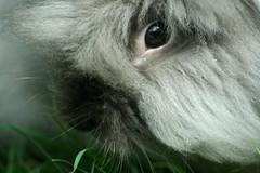 Coniglio (SpUtNik 23 -RUR und MKZ) Tags: rabbit angora poil lapin coniglio nain lapinou pissou gnap crottes sputnik23 malembouch cacatoire faislelaid