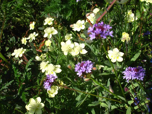Platystemon californicus + Verbena lilacina