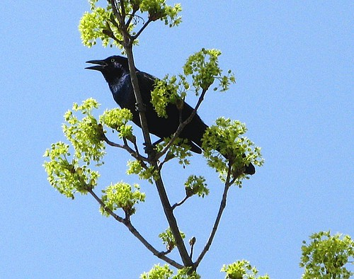black grackle in the park