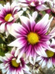 Earth's stars (job_earth) Tags: life flowers flower love floral stars star earth unity naturesfinest artisticexpression flowerotica mywinners abigfave anawesomeshot diamondclassphotographer flickrdiamond goldstaraward