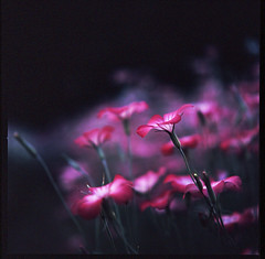 (rosemary*) Tags: pink flower topf25 500v20f hasselblad 2008