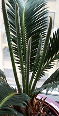 New Growth Section of Cycas Plant