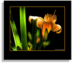 Garden Playtime (West County Camera) Tags: daylily 1001nights simplyflowers beautysecret fineartphotos golddragon abigfave aplusphoto citrit platinumheartaward theperfectphotographer goldstaraward macroflowerlovers rubyphotographer qualitypixels auniverseofflowers awesomeblossoms flickrflorescloseupmacros panoramafotogrfico