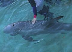 Mary G. (Fondazione Cetacea) (Fondazione Cetacea onlus) Tags: mary delfino grampo fondazione cetacea salvataggio onlus fondazionecetacea