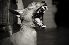 Sphynx (wecand) Tags: animal cat naked photography tiere photo nikon foto fotografie alien nackt ugly planet ka