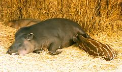 tapir en Parque de las Leyendas de Lima