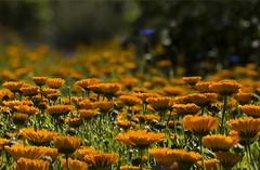 Fields of Pot Marigold (annemirdl) Tags: germany bavaria hopfen allgu calendulaofficinalis potma