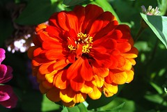 zinnia ornage