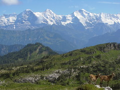 Eiger - Mnch - Jungfraujoch - Jungfrau , Kanton Bern , Schweiz (chrchr_75) Tags: wild mountains alps nature animal animals fauna landscape schweiz switzerland tiere suisse hiking wilde swiss wildlife natur berge mountaineering bern alfred cave alpen christoph northface svizzera 2008 karst landschaft berne eiger jungfraujoch wandern tier jungfrau hhle berna sieben seefeld wanderung mnch nordwand eigerwand eigernordwand suissa 0808 kanton chrigu wanderwege eriz tierwelt kropf kantonbern brn hengste mordwand eigernorthface schibe chrchr hurni sichle innereriz chrchr75 charenfeld karrenfeld chriguhurni martismurerloch sulzigraben grttli albumwildetiere albummartismurerloch2008