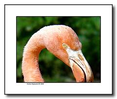 Look at me (Andrea Rapisarda) Tags: pink copenhagen zoo flamingo andrearapisarda thewonderfulworldofbirds