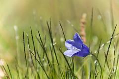 Bellflower (jayhem) Tags: blue mountains alps flower nature fleur switzerland glacier cc alpine creativecommons campanula valais bellflower campanule sanetsch ccby campanulaalpina