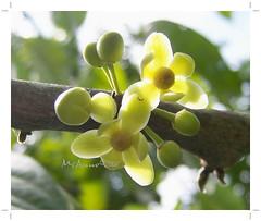 Stelechocarpus burahol  (Kepel, Burahol)