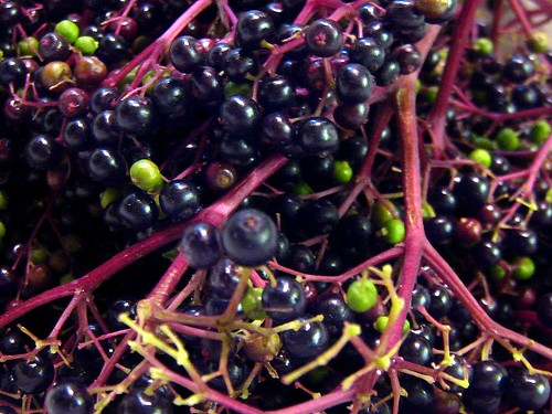 Elderberries in bunches