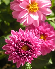 Together (Nijn kijkt...) Tags: pink dahlia flowers macro nature closeup garden supershot macrolicious aplusphoto wonderfulworldofflowers