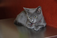 Waiting for the doctor.... (ineedathis, Everyday I get up, it's a great day!) Tags: family pet love girl cat kitty lara russianblue