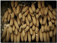 Corn gathering / Manifestación de maiz