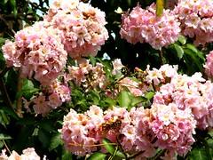 pe rosa (Tabebuia heptaphylla) flowers & leaves, rua Cantagalo Tatuap,  Sao Paulo Brazil (mauroguanandi) Tags: pink brazil ip tabebuia bignoniaceae yp tabebuiaheptaphylla mimamorflores awesomeblossoms