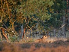 Camouflage (Jaydot) Tags: deer hogeveluwe herten burlen bronsttijd edelherten setveluwe