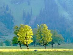 Maple Trees (Claude@Munich) Tags: mountain alps tree geotagged austria tirol österreich maple berge explore pasture alm alpen plain alp baum tyrol eng tal karwendel ahorn ahornboden claudemunich vomp ostalpen hinterriss bigmapleplain alpineparkkarwendel paisajesdepueblosycampos groserahornboden explore410080930 geo:lat=47406366 geo:lon=11566694