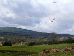Red Kite Gathering ! (Dennis@Stromness) Tags: uk wild kite bird nature birds scotland britain wildlife raptors birdsofprey dumfriesgalloway galloway redkite dumfriesshire gallowaykitetrail bellymack